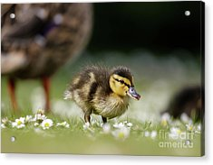 Acrylic Print featuring the photograph Mallard Ducklings - Anas Platyrhynchos - Grazing Feeding Among Dai by Paul Farnfield