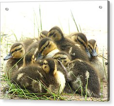 Acrylic Print featuring the photograph Mallard Ducklings by Angie Rea