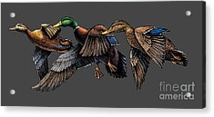 Mallard Ducks In Flight Acrylic Print