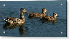 Acrylic Print featuring the photograph Mallard Family Outing by Jean Noren