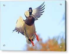Mallard In Flight 2 Acrylic Print