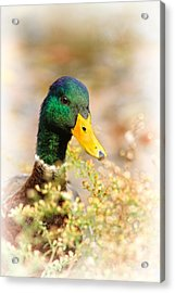 Drake In The Flowers Acrylic Print