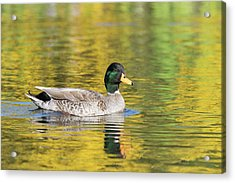 Mallard In Yellow Acrylic Print