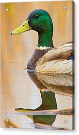 Acrylic Print featuring the photograph Mallard Mirror by William Jobes