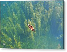Mallard Over Seaweed Acrylic Print