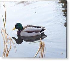 Mallard Reflected Acrylic Print
