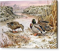 Mallards In A Quiet Corner Acrylic Print by Carl Donner