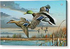 Mallards In Flight Acrylic Print