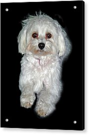 Maltese Terrier Puppy Acrylic Print by Kenneth William Caleno