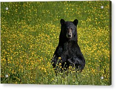 Mama Bear Acrylic Print