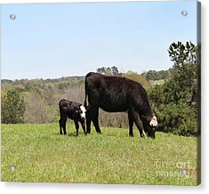 Mama Cow And Calf In Texas Pasture Acrylic Print