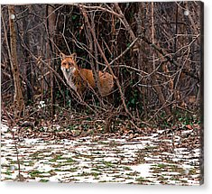 Acrylic Print featuring the photograph Mama Fox Jan 2015 by Chris Babcock
