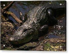 Mama Gator Acrylic Print by James Jones