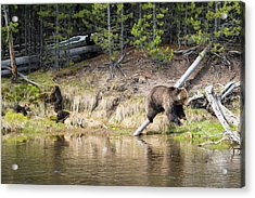 Mama Grizzly And Her 3 Cubs Acrylic Print