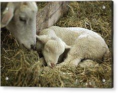 Mama's Lil Lamb Acrylic Print by Linda Mishler