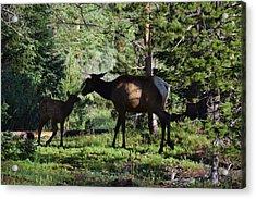 Elk Calf - Mother Rmnp Co Acrylic Print