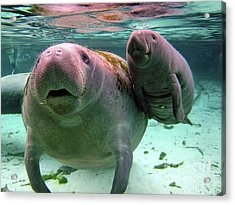 Manatee Mom And Calf Acrylic Print