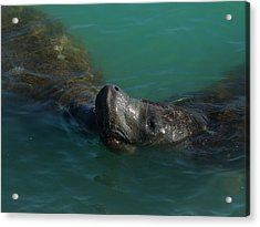Acrylic Print featuring the photograph Manatee With Seaweed Snack by Lynda Dawson-Youngclaus