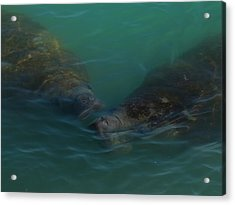 Acrylic Print featuring the photograph Manatees Head For Air by Lynda Dawson-Youngclaus