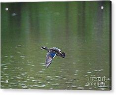 Mandarin Duck 20130507_50 Acrylic Print