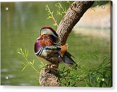 Mandarin Duck On Tree Acrylic Print