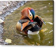 Mandarin Duck Preening Feathers Acrylic Print