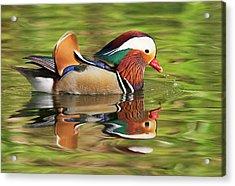 Acrylic Print featuring the photograph Mandarin Duck by Ram Vasudev