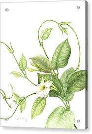 Mandevilla Vine Acrylic Print by Fran Henig