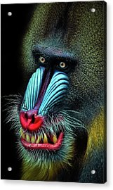 Mandrill Acrylic Print by Animus Photography