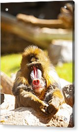 Mandrill Baboon Resting Looking Forward Acrylic Print