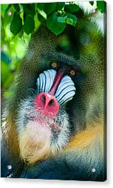 Mandrill Stare Acrylic Print by Kevin Munro
