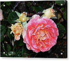 Mango Rose Acrylic Print