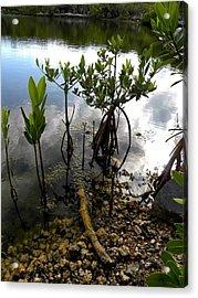 Mangrove 2 Acrylic Print by Patricia Bigelow