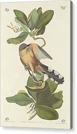 Mangrove Cuckoo Acrylic Print by Rob Dreyer