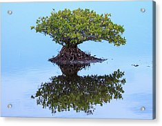 Mangrove Reflection Acrylic Print