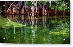 Mangrove Reflections Acrylic Print