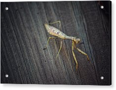 Mantis  Acrylic Print