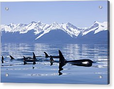 Many Orca Whales Acrylic Print by John Hyde - Printscapes