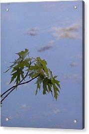 Maple Against Reflected Sky Acrylic Print by Randy Muir