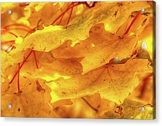 Acrylic Print featuring the photograph Maple Blaze by Marie Leslie