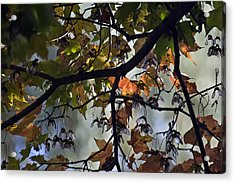 Maple Color Acrylic Print by Ross Powell