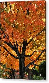 Maple Hill Maple In Autumn Acrylic Print