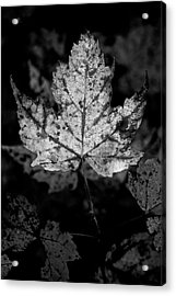 Maple Leaf In Black And White Acrylic Print