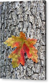Maple Leaf On A Maple Tree Acrylic Print by Andreas Freund