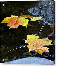 Maple Leaf Acrylic Print by Sean Shaw