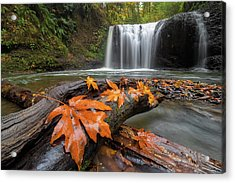 Maple Leaves On Tree Log At Hidden Falls Acrylic Print