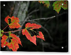 Maple Leaves Acrylic Print by Steven Scott