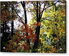 Maple Mania 16 Acrylic Print by Will Borden