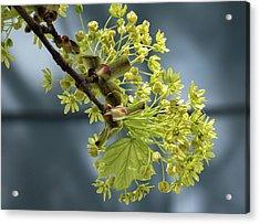 Maple Tree Flowers 2 - Acrylic Print