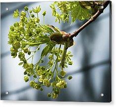 Maple Tree Flowers - Acrylic Print